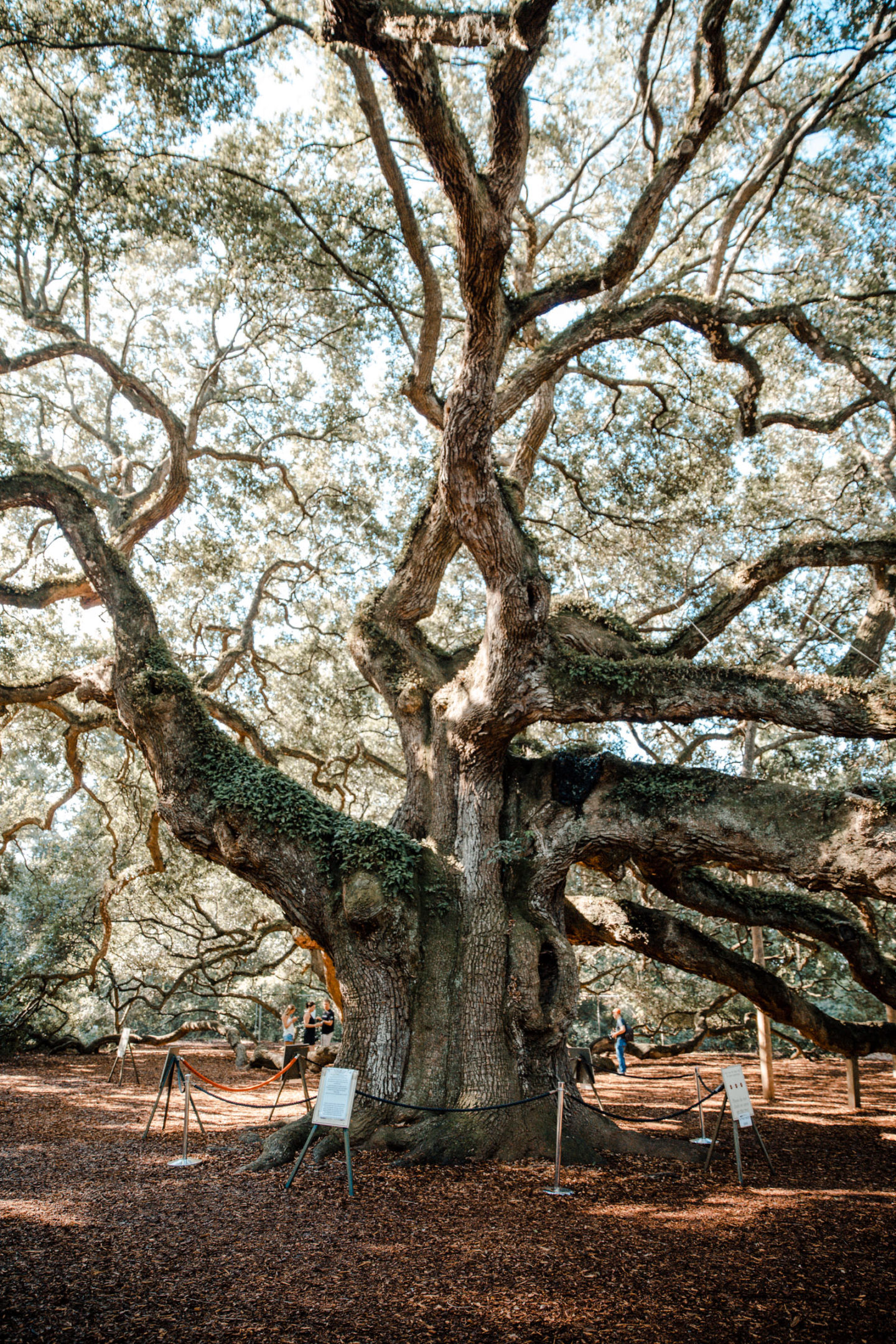Charleston South Carolina Angel Oak Tree